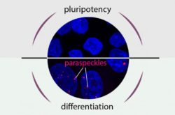 Pluripotency or differentiation – That is the question